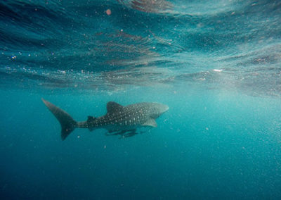 Whale shark-diving holiday